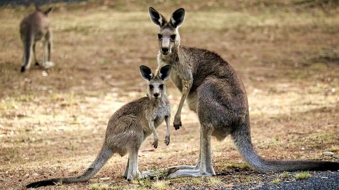 En Australie, les kangourous deviennent cannibales à cause de la sécheresse