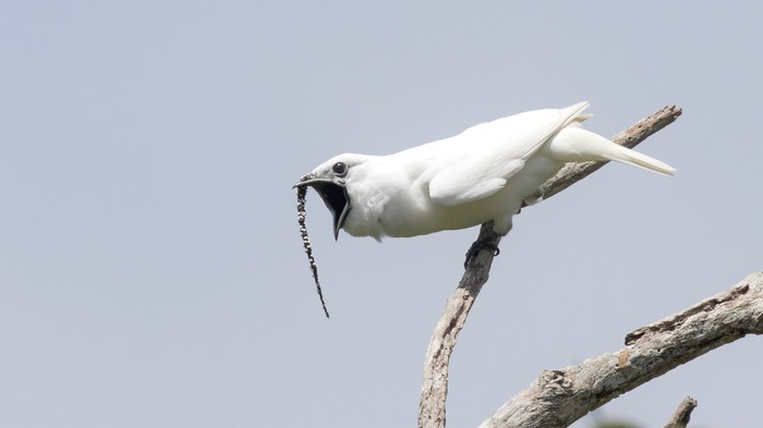 Listen to the Loudest Bird Ever Recorded