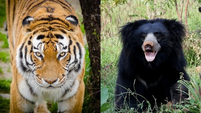 One Of India's Most Wanted Poachers, Who Ate Bear Penises, Just Got Caught