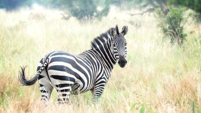Il mondo è pronto per la carne di zebra prodotta in laboratorio?