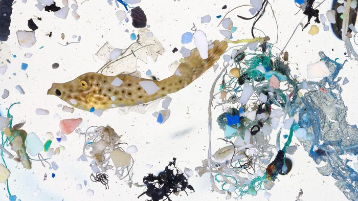 Baby Fish Nurseries Are Riddled With 'Prey-Sized' Plastic, Alarming Study Finds