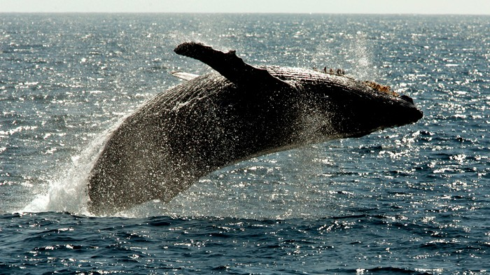 Whales Could Help Prevent a Climate Catastrophe