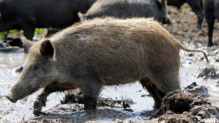 Feral Hogs Attacked and Killed a Woman on Her Way to Work in Texas