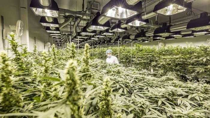 In Kanada verstauben Hunderttausende Kilo Cannabis