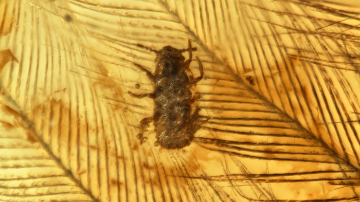 Ancient Parasite Eating Dinosaur Feathers Perfectly Preserved in Amber