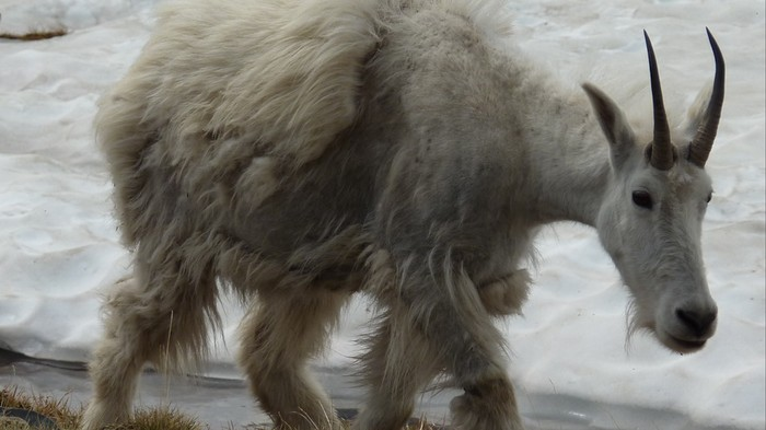 America's Iconic Mountain Goats Are Being Threatened by Melting Ice and Snow