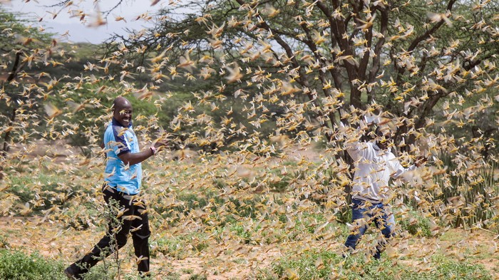 'Unprecedented' Swarms of Locusts Are Devouring Crops and Slamming Into Planes in East Africa
