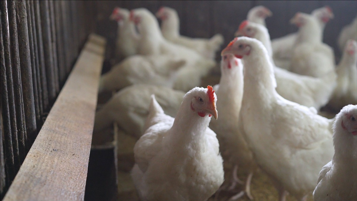 Kasus Penularan Perdana Virus Flu Burung Jenis H10N3 Muncul di Tiongkok