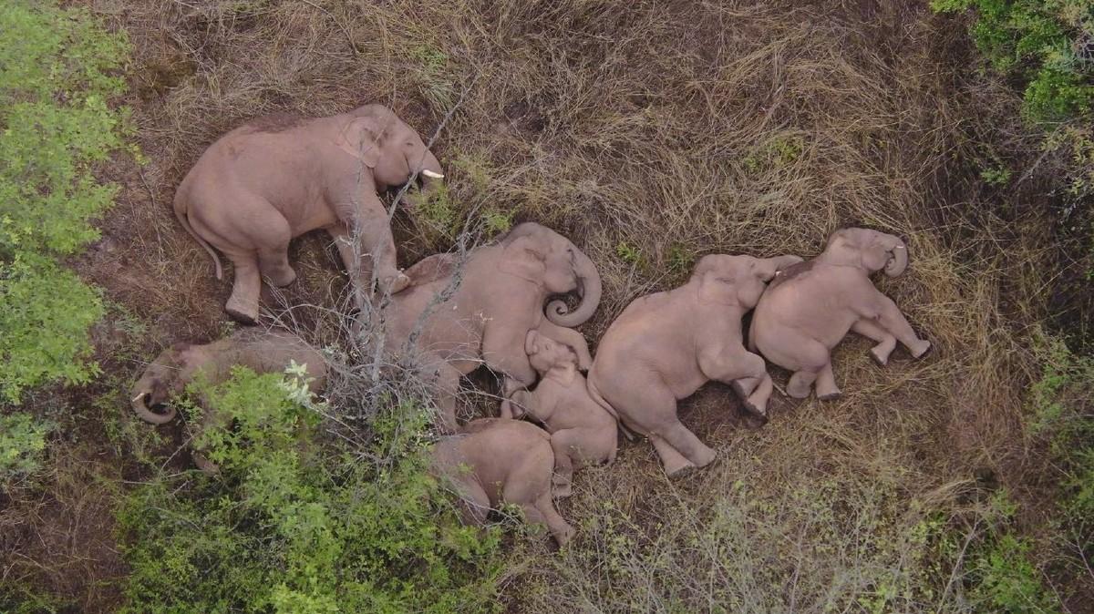 Netizen Sedunia Terpukau Pada Perjalanan Keluarga Gajah yang Tersesat di Tiongkok