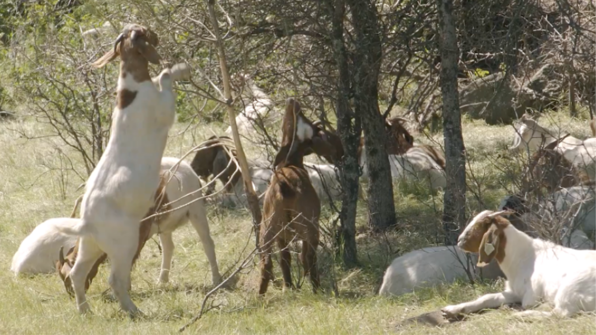 California has unleashed an army of goats to munch away at overgrown brush and grass throughout the state in hopes of reducing the risk of wildfires t