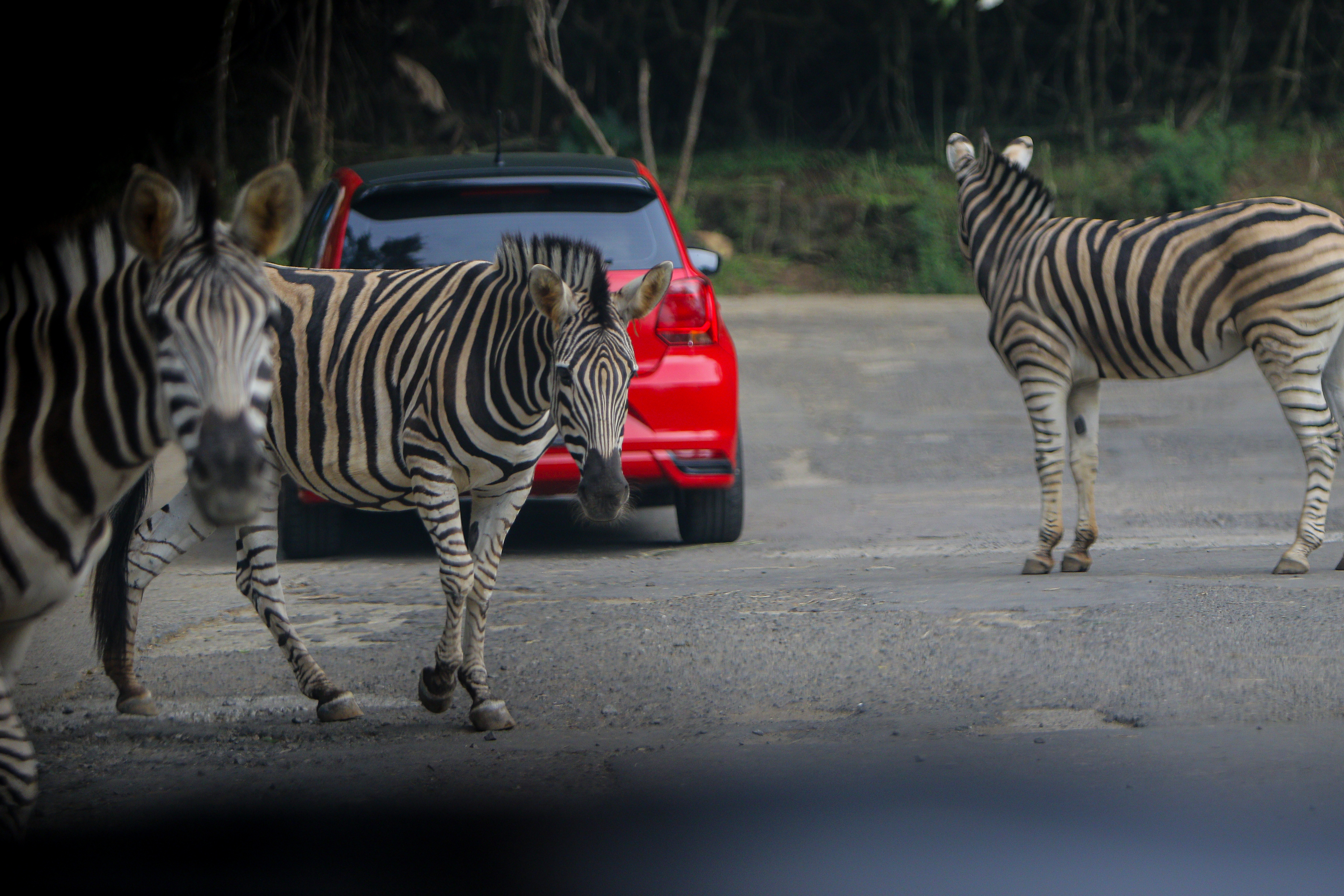 An Escaped Zebra in Maryland Died, But They Died Free
