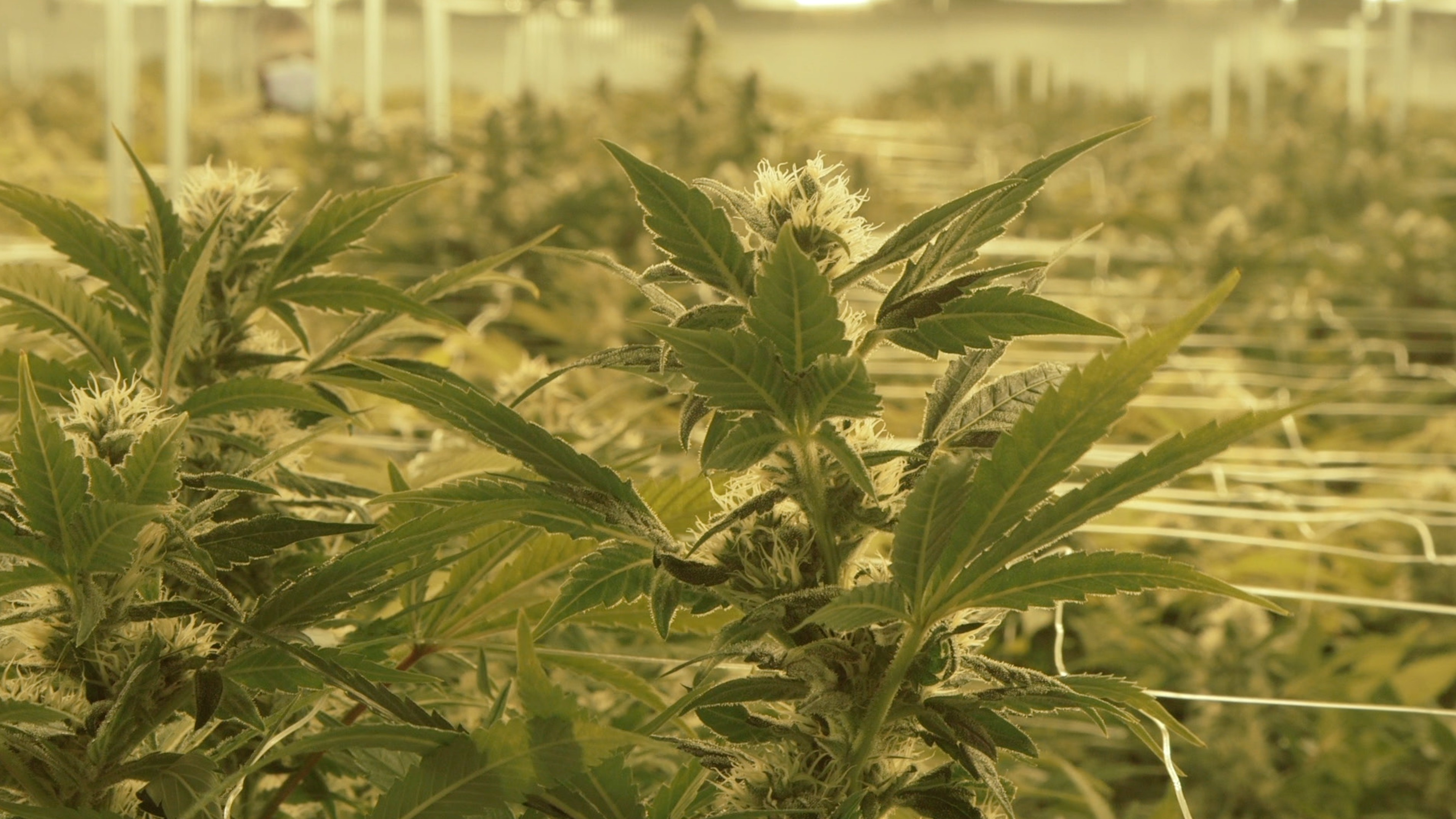 Inside Canada's New Corporate Weed System