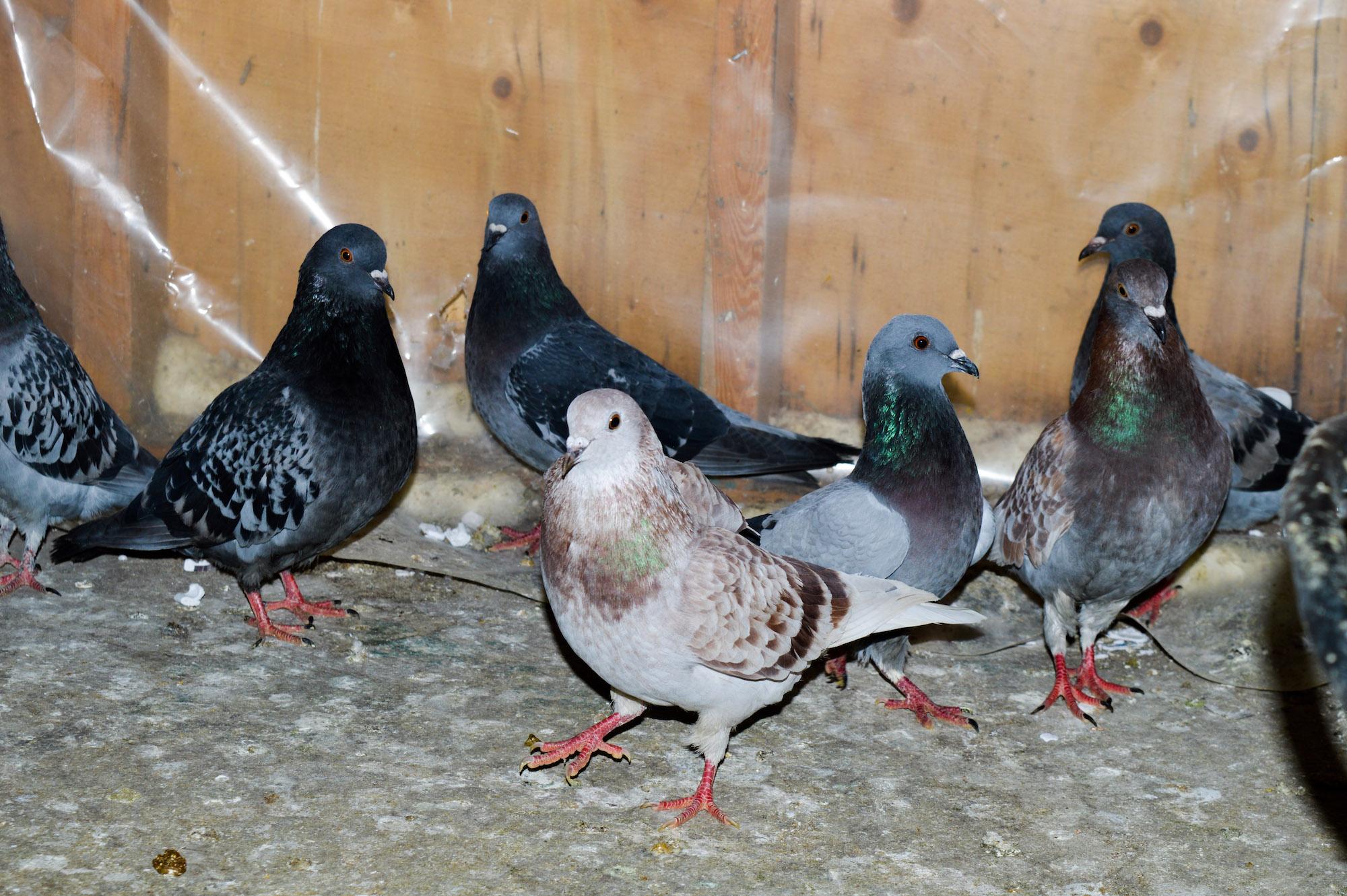 Pigeons in Fagan's backyard.
