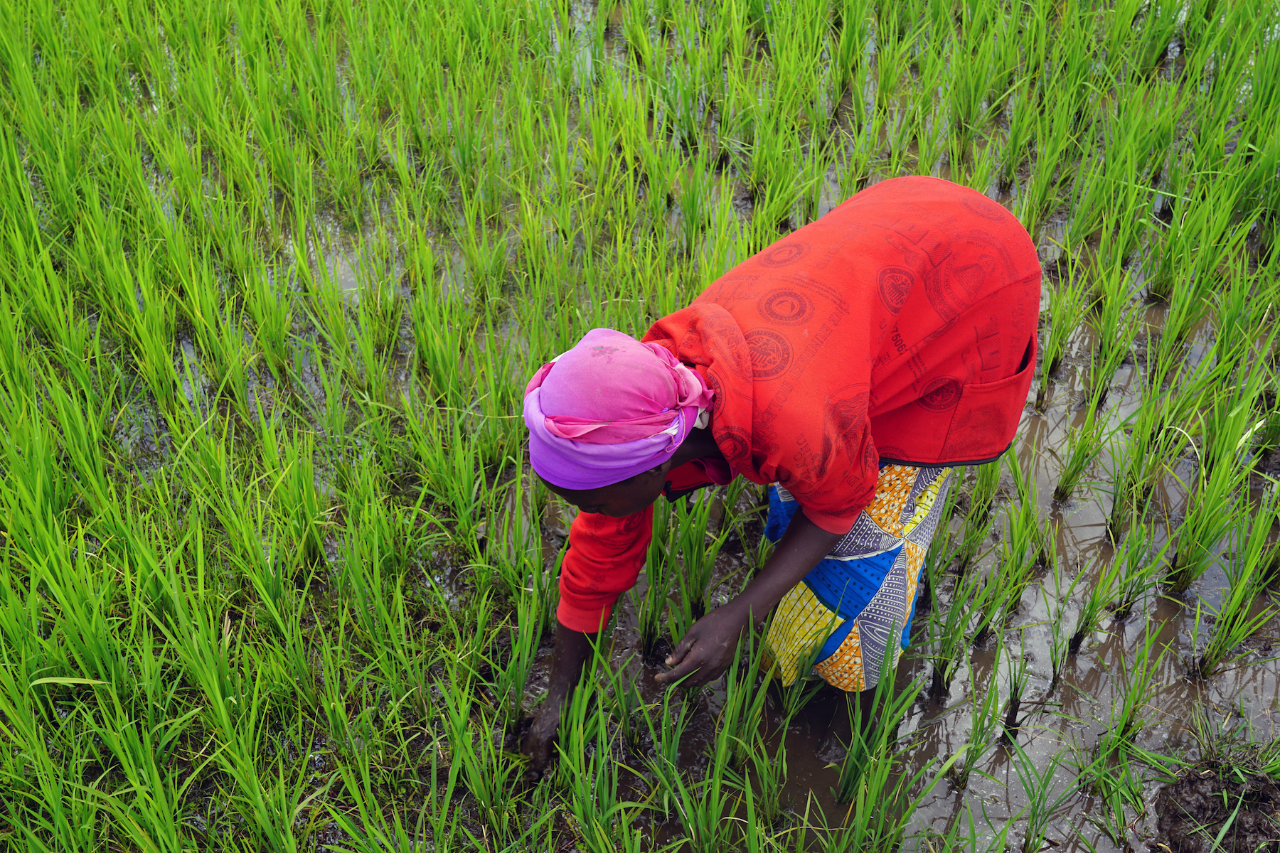 Nyirabashyitsi Esperance removes weeds from the rice paddy by hand.