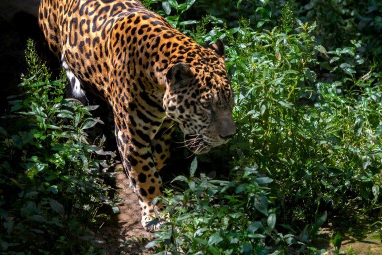 Un estudio reciente realizado por WWF en Perú, Colombia y Ecuador propuso la creación de un megapaisaje en estos países como corredor transfronterizo del jaguar. En este espacio habría un promedio de 2.000 felinos de esta especie. Foto: Diego Pérez / WWF Perú.
