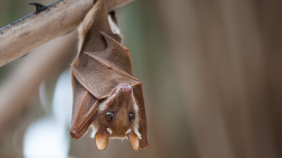 , Here's How Scientists Think Coronavirus Spreads from Bats to Humans, Saubio Making Wealth