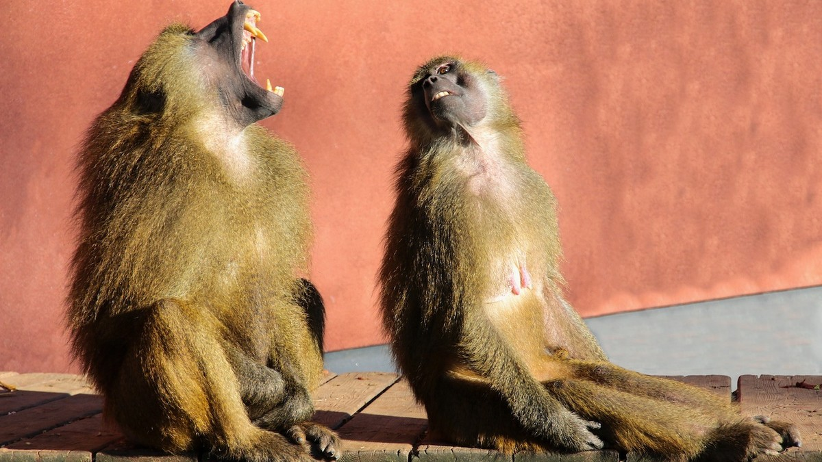 Monkey Scheduled for a Vasectomy Escapes Hospital with Two Females in Tow