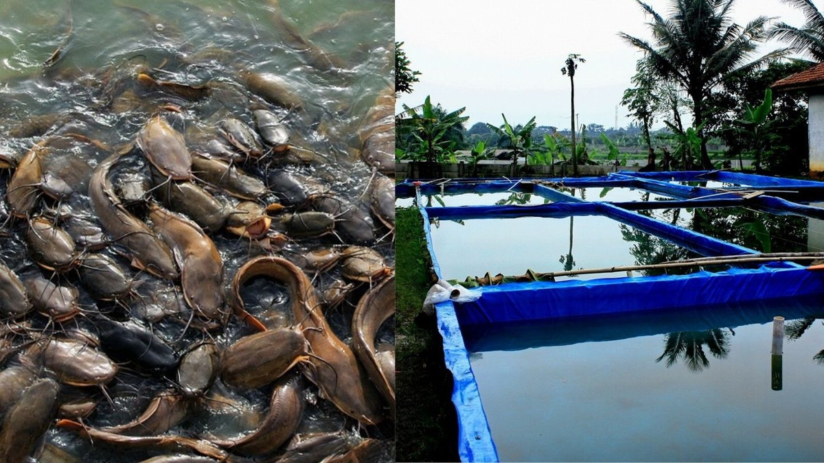 Aplikasi Ternak Lele Simbiofish Hubungkan Peternak dengan ...