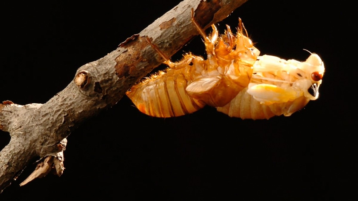 , Invading Cicadas May Turn Into Sex-Crazed Zombies This Summer, Saubio Making Wealth