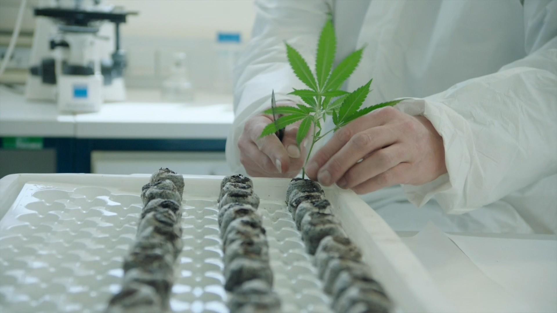 Cannabis: Droge und Medizin - Teil 2