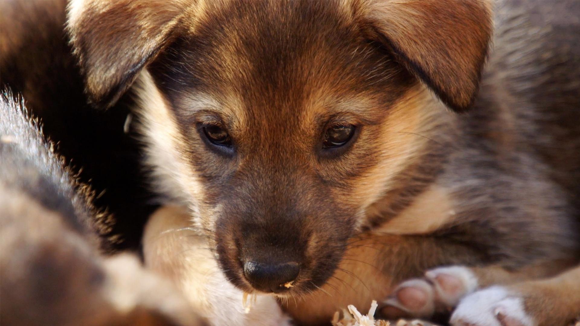 Flipboard Training Husky Puppies To Become Alaskan Sled Dogs