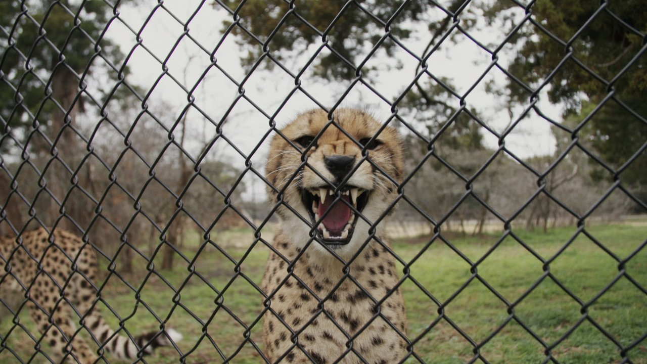 We played matchmaker for cheetahs stuck in a dry spell
