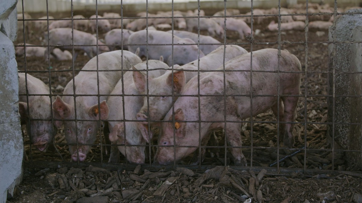 Pigs Are Eating Las Vegas' Leftovers And It's Helping The Environment