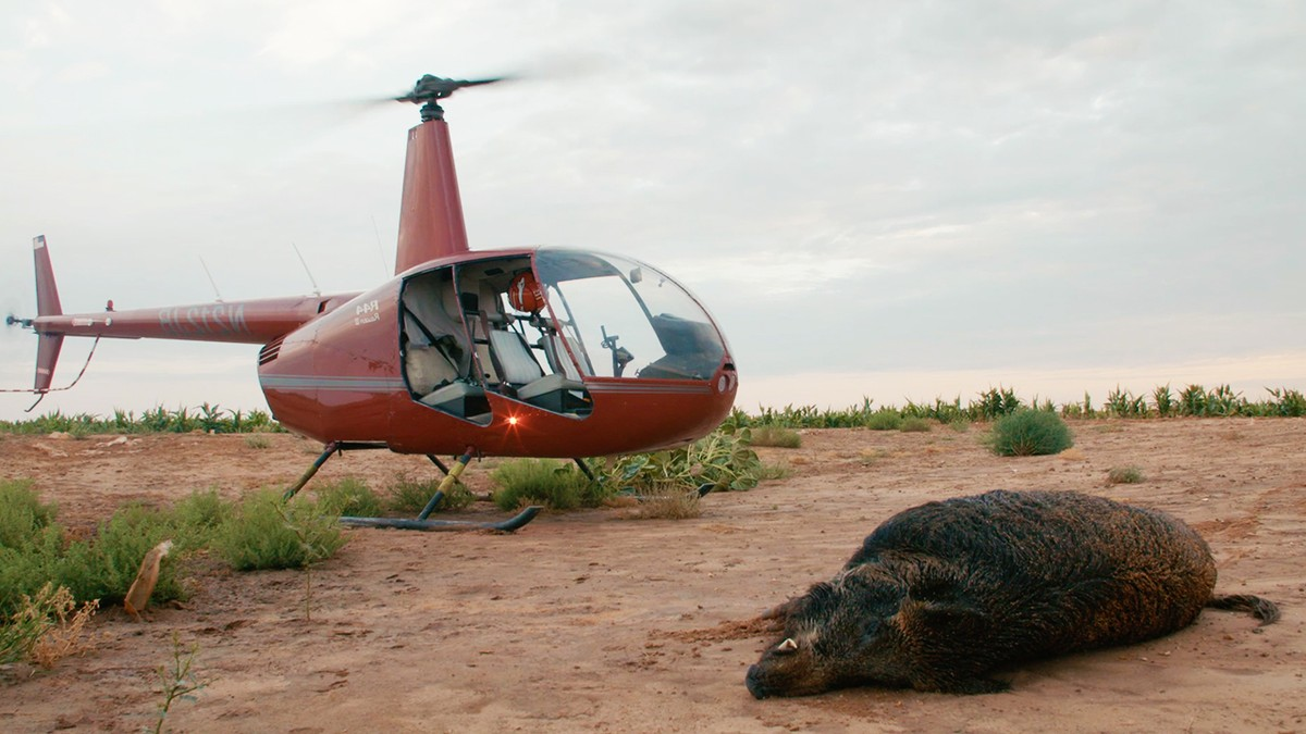 Texas Has So Many Feral Hogs, Tourists Are Hunting Them From Helicopters